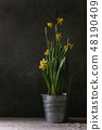 Narcissus daffodils flowers 48190409