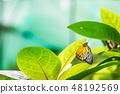 ผีเสื้อ,ดอกไม้,สีเขียว 48192569