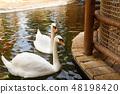 White swans 48198420