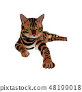 Bengal Cat brown-spotted 48199018
