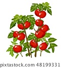 Growth and ripening tomato. Plants isolated on white background. Agriculture. Cartoon vector close 48199331