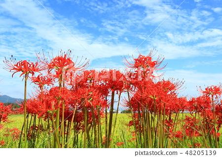 푸른 하늘과 피안 꽃 48205139