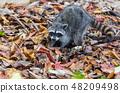 Raccoon 48209498