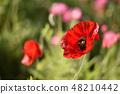 Poppy spring flowers 48210442
