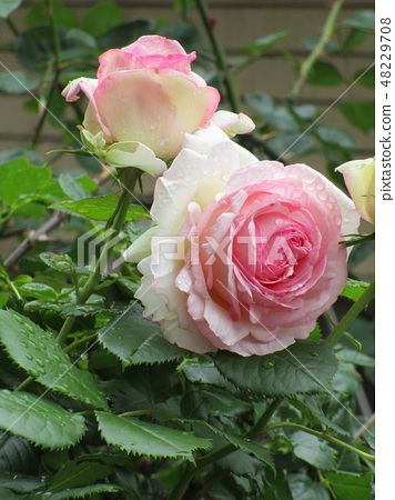 Rose Pierre de Ronzaru 48229708
