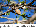 Almond blossom and drupe 48229849