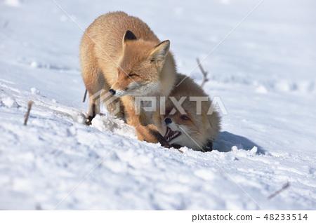 설상 じゃれる 두 마리의 북극 여우 (홋카이도) 48233514