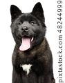 Portrait of happy American Akita dog 48244999