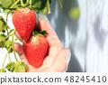 Ichigo草莓採摘圖像 48245410