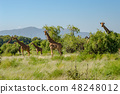 Flocks of giraffes in the savannah of Samburu 48248012