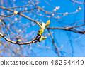 buds on a chestnut tree 48254449
