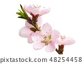 sakura flowers isolated 48254458