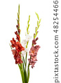 bouquet of gladioli isolated 48254466