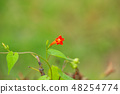 코 이시카와 식물원 아이비에 피는 빨간 꽃 봉오리 48254774