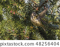Goldcrest (Regulus regulus) on a branch 48256404
