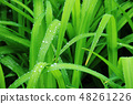 Grass leaves with water droplets 48261226