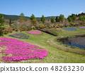 Shibazakura在藍天下開花 48263230
