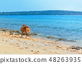 Javan Rusa deer on sea beach 48263935
