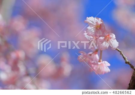 櫻花 48266562