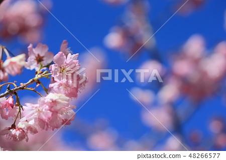 櫻花 48266577