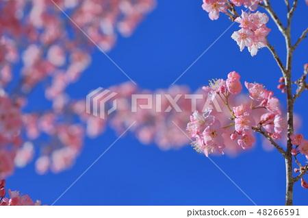 櫻花 48266591