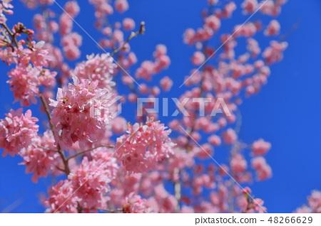 櫻花 48266629