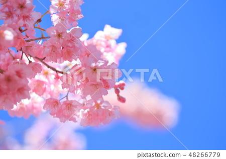 櫻花 48266779