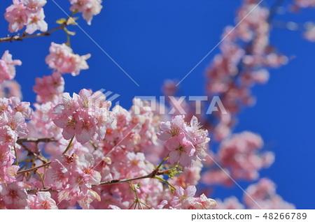 櫻花 48266789