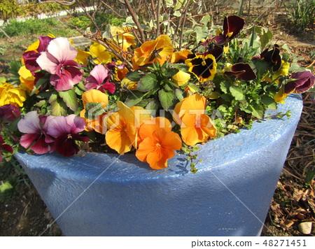 在一个大花盆种植的黄色蝴蝶花 48271451