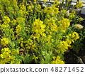 高洲 수영장 옆의 꽃밭에 노란 꽃 나바나이 만개 48271452