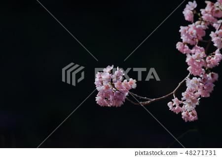 櫻花 48271731
