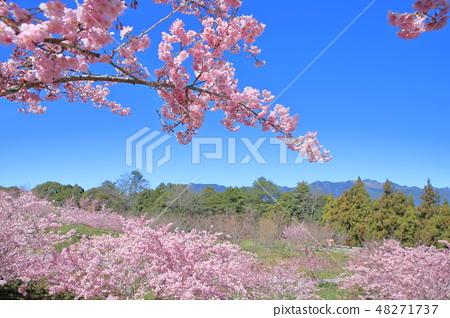 櫻花 48271737