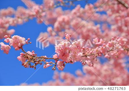 櫻花 48271763