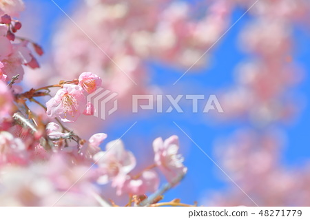 櫻花 48271779