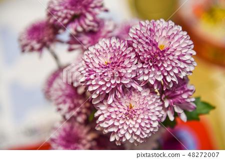 紫色杭菊花 48272007