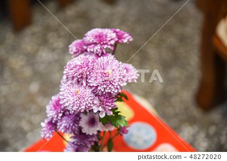 紫色杭菊花 48272020