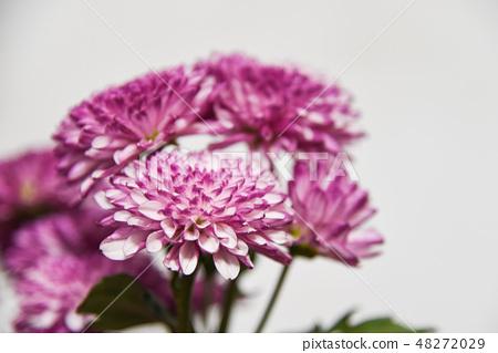 紫色杭菊花 48272029