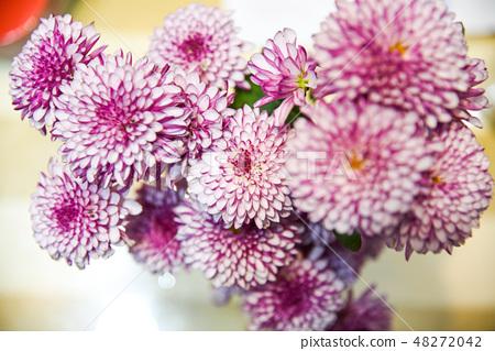 紫色杭菊花 48272042