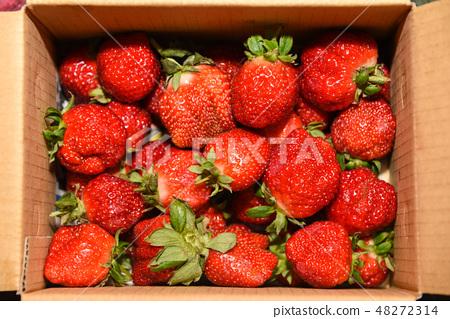 台灣大湖草莓季 48272314