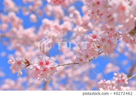 櫻花 48272462