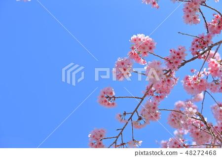 櫻花 48272468