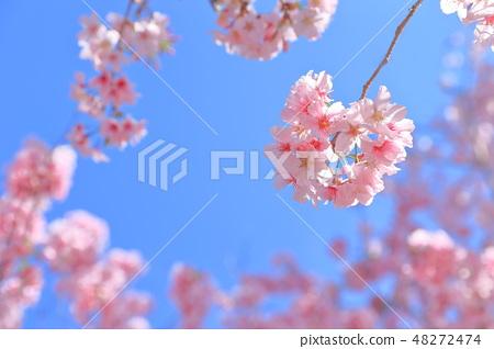 櫻花 48272474