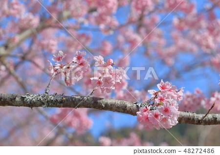 櫻花 48272486