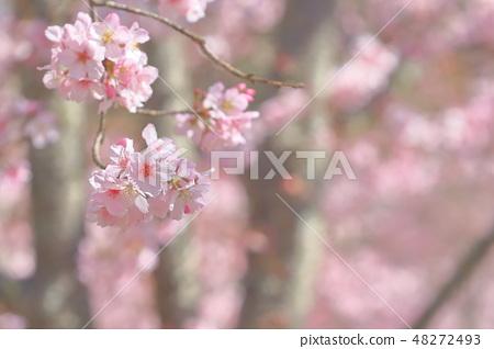 櫻花 48272493