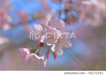 櫻花 48272501