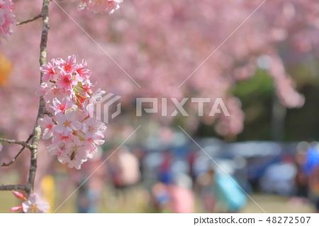 櫻花 48272507