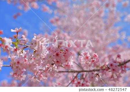 櫻花 48272547