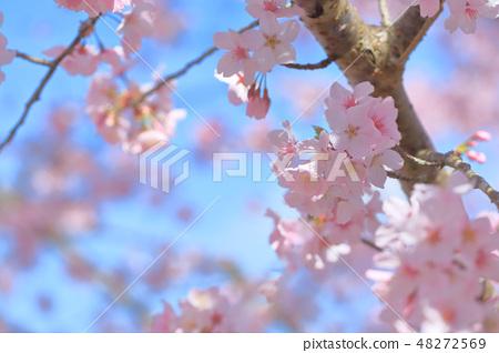 櫻花 48272569