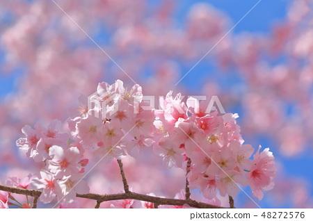 櫻花 48272576