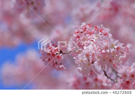 櫻花 48272608